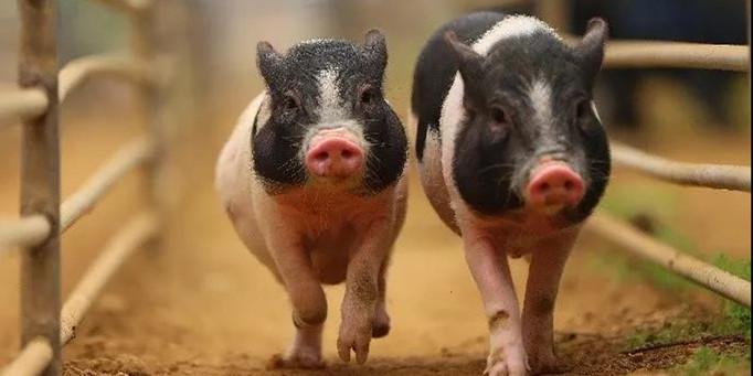 一个县城30家,广西博白30家生猪定点屠宰厂(场)被关停,原因竟是.....