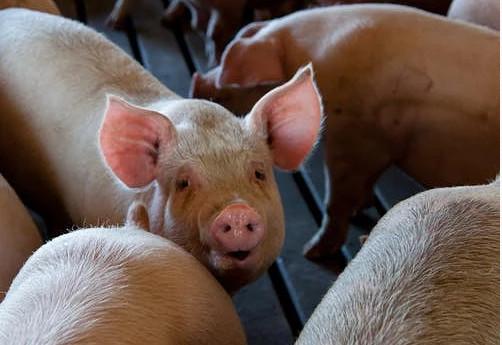 安徽:上半年生猪出栏1420万头,233家屠宰企业已全部派驻官方兽医