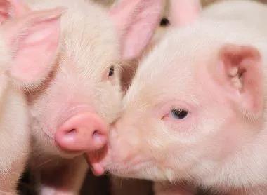 猪左心衰和右心衰的区别:左心衰气喘,右心衰水肿