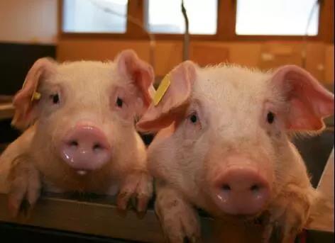 不要对非洲猪瘟过于恐慌,应当正确认识非洲猪瘟