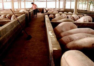 从500到50头母猪的猪场,这个猪场老板有意思!
