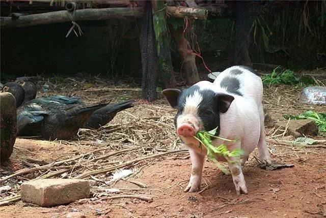 宁乡市:流沙河土花猪非遗推广进校园 2000户农民通过养花猪致富