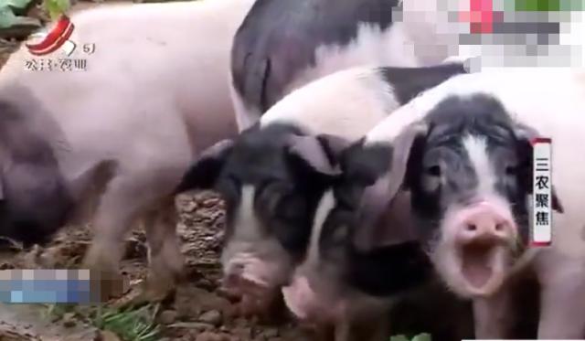 男子养赣西两头乌猪价格比普通猪贵两倍,不仅喂绿色食品,还要喂补品