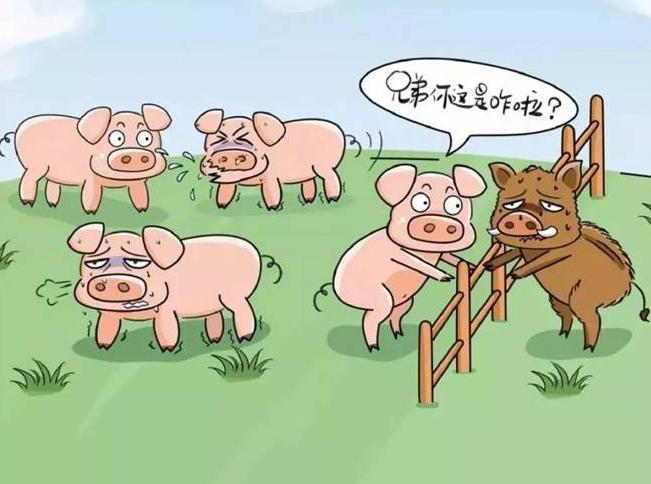 7月8日匈牙利新发7起非洲猪瘟疫情