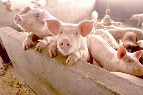 """青岛:生猪价格保险为养殖户保""""价""""护航"""