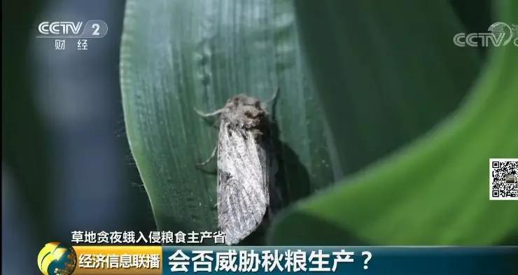 生物入侵!玉米或减产20%-70%,价格要上天?