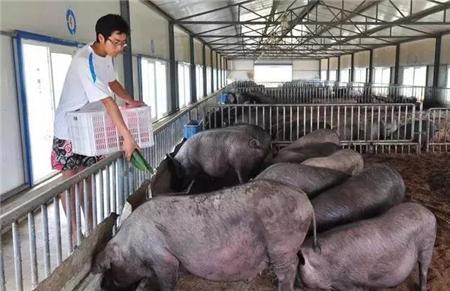 忘了猪配种时间怎么办?母猪推算预产期的方法