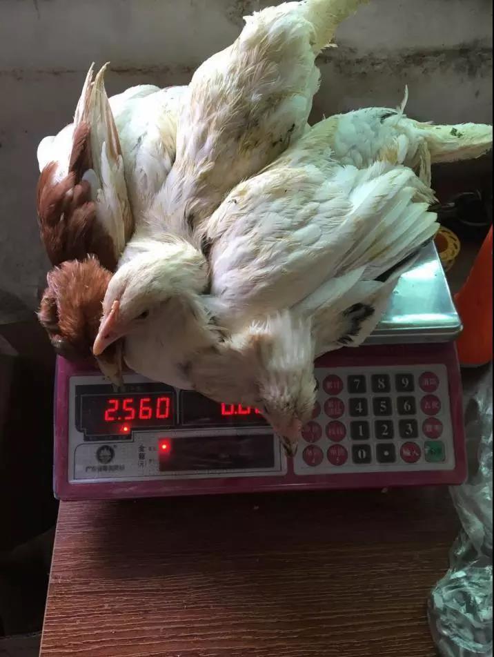 """谨防被骗!猪农转型养鸡买5000余只鸡苗,体重却""""缩水""""过半"""