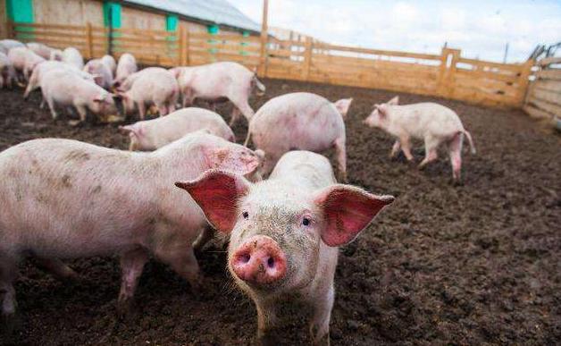 当下猪贩子湖南集结,养殖户不愿补栏何谈复养?