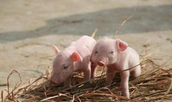 母猪为什么不给小猪喂奶?母猪不哺乳的原因分析