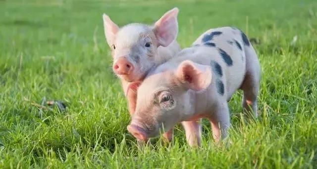 这三种猪病夏季高发且症状相似,养殖户要会诊断方能对症下药
