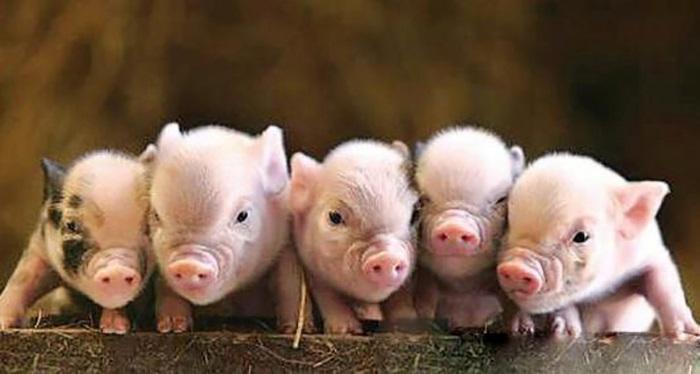 三种方法可实现仔猪教槽的饲喂目标!