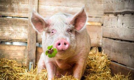 猪—沼—林生态种养增效益 ,广安新寺村产业实现绿色生态发展