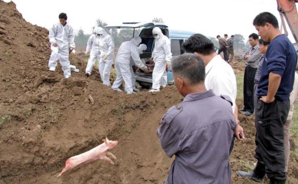 湖南平江死猪深埋后又被挖出?当地政府回应