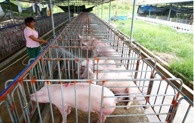 广西灌阳县新圩镇 返乡养猪 带富乡亲