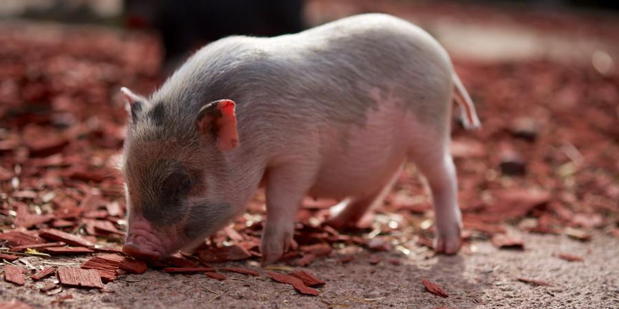 连云港非洲猪瘟疫点生猪复养成功的原因是什么?能复制吗?