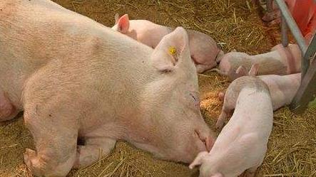 夏天怎么给猪降温?泼冷水降温或致猪死亡