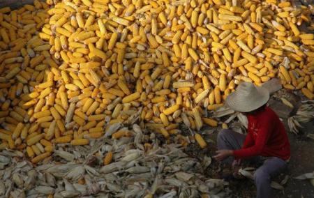 全国玉米供需暂难匹配,拍卖市场热度持续下滑