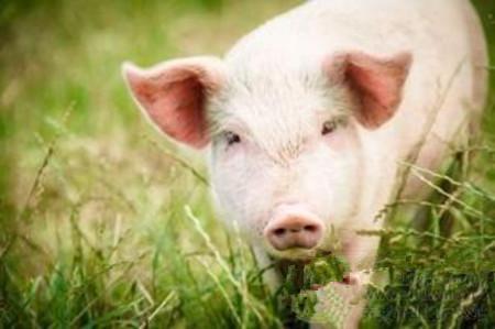 如何驯化后备母猪,这篇文章讲得透彻