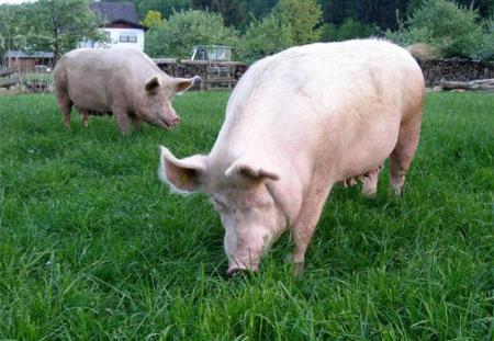 猪价暴涨之际猪凉了、人也没了!行情风向标:南?北?