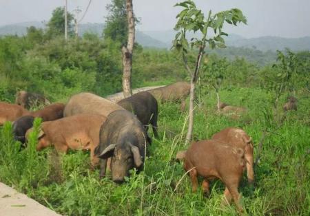 村民卜正东生态养猪开辟绿色致富路