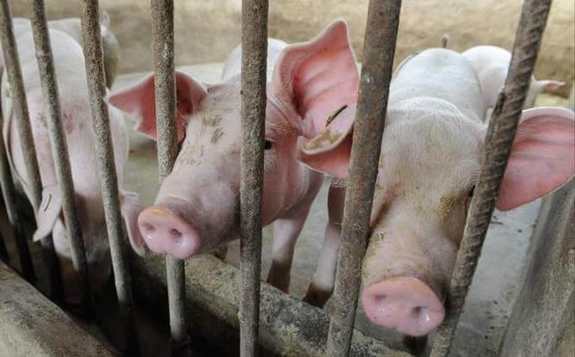 人人都说今年养猪不容易,但为什么这么难的原因你了解吗?