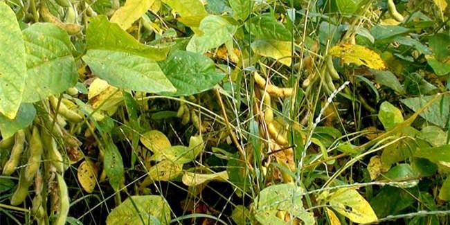 非洲猪瘟持续,中国大豆仍需求高于预期继续保持