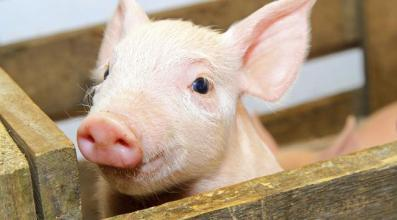2019年中报即将出炉,猪企股市会大跌吗?