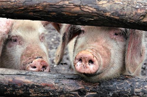 柬埔寨非瘟新消息:已有5省份发现非洲猪瘟疫情,约800头生猪被捕杀