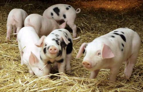 湘潭上半年生猪规模饲养调查:平均每头生猪效益增加300元