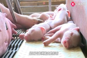 猪肉价格再次上涨!背后原因专家听了都咂舌,老农也很无奈