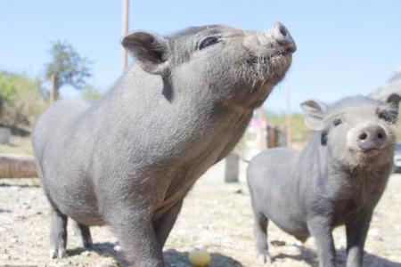 存栏1500头自繁自养场 母猪疑似非洲猪瘟?怎么办?