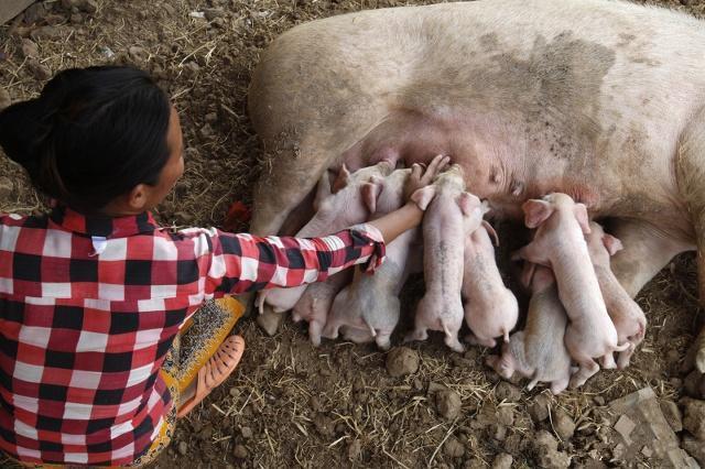 内蒙古11岁男孩猪圈里边写作业边给猪接生