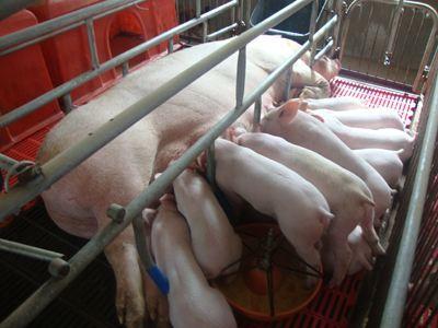母猪上产床前的准备,附母猪上产房的生产流程