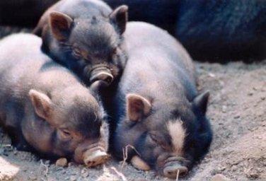脱贫攻坚进行时!云南大山里走出来的瓦萨乌猪成了脱贫致富新路子