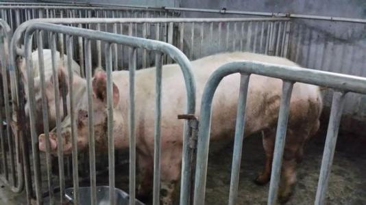 集团规模化猪场经营管理:配种妊娠舍的操作程序