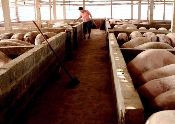 养猪人必须解决的,令人头疼的6个猪场的问题,否则就白干了!