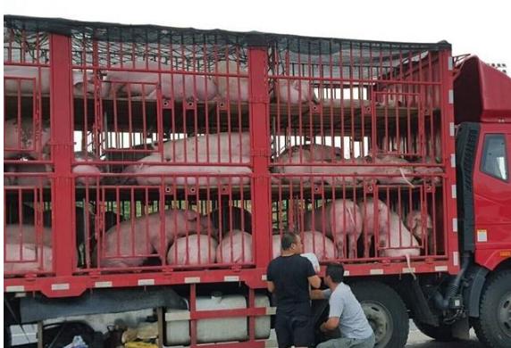 云南省人民政府关于从本省指定道口运入生猪及生猪产品通告