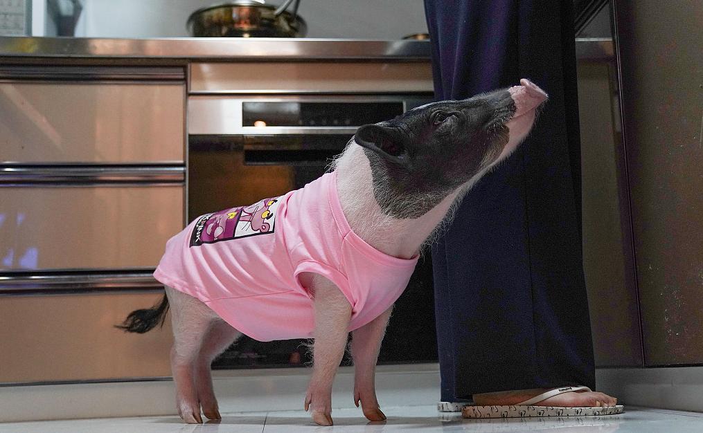 90后夫妇养宠物猪,把小香猪宠成小公主