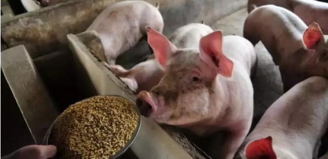散养户和规模养殖场的区别:养殖成本骤然升高,规模化猪场日子熬煎