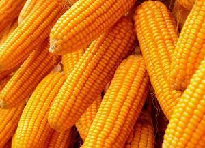 南方猪价涨势延续,美豆继续回落,玉米继续偏弱调整