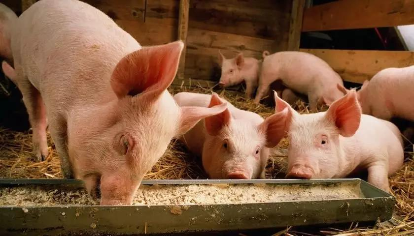 2019年上半年生猪出栏约3.1亿头?生猪缺口巨大,猪价15元/斤都不是梦!