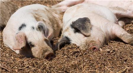 """非瘟的猪为什么会突然""""降温""""后死亡?什么叫健康的猪?"""