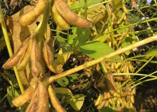 中美贸易摩擦短暂缓和 三季度国内豆粕价格或涨180元/吨