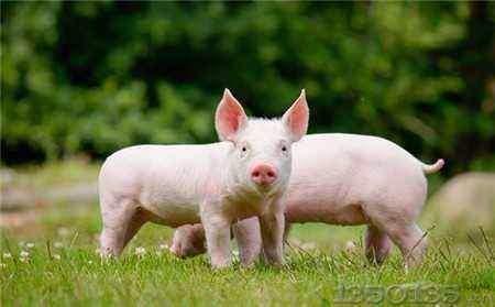 第十七批10家省外企业可向山东提供生猪及生猪产品
