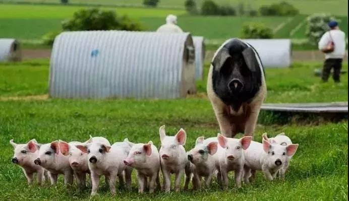 什么是有机猪?养猪王国丹麦养有机猪是这样做的