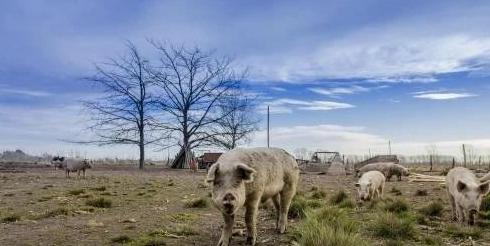 中国买家取消4513吨的美国猪肉订单,致美国928个农场破产