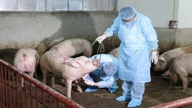 越南西宁省与柬埔寨柴桢省配合预防非洲猪瘟疫情