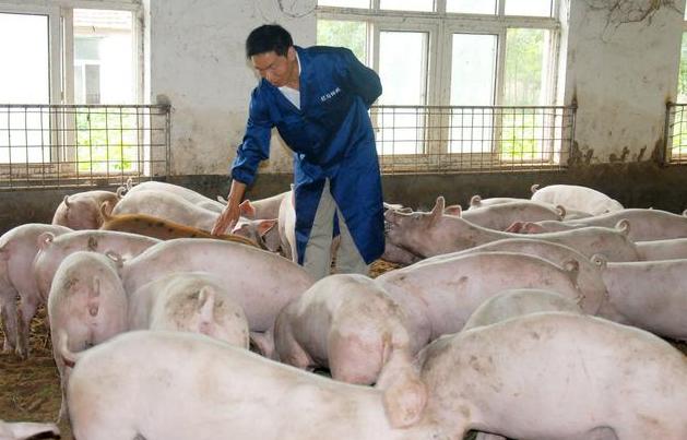 猪场肥猪咳嗽严重怎么办?老兽医一方法解决,养殖户值得借鉴