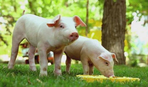 """""""猪荒""""袭来,6月全国规模以上生猪定点屠宰企业屠宰量同比降8.2%"""